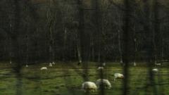 Scottish-Sheep-L.Moser_
