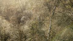 Scottish-forest-L.Moser_
